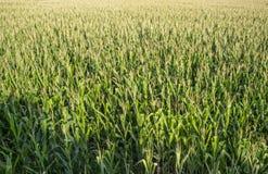 Campos de milho vastos no vale de Guadiana, Espanha Imagens de Stock