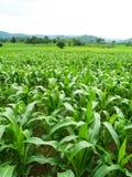 Campos de milho verde fotos de stock