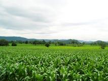 Campos de milho verde foto de stock