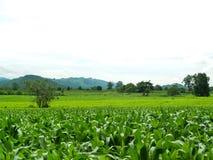 Campos de milho verde fotografia de stock royalty free