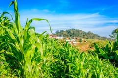 Campos de milho verde no monte Fotos de Stock Royalty Free