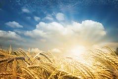 Campos de oro de la cosecha foto de archivo libre de regalías