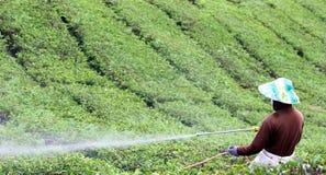 Campos de riego del té del trabajador en Cameron Highlans fotos de archivo