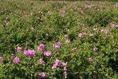 Campos de Rosa imagem de stock