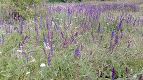 Campos de Salvia imagenes de archivo