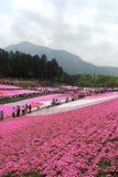 Campos de Shiba-zakura en Chichibu Imagen de archivo libre de regalías