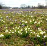 Campos de snowdrops e de flores de florescência dos açafrões Fotos de Stock Royalty Free
