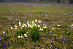 Campos de snowdrops e de flores de florescência dos açafrões Fotografia de Stock Royalty Free