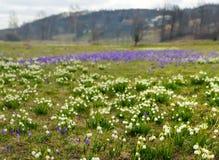 Campos de snowdrops e de flores de florescência dos açafrões Foto de Stock