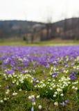Campos de snowdrops e de flores de florescência dos açafrões Imagem de Stock Royalty Free