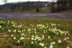 Campos de snowdrops e de flores de florescência dos açafrões Imagem de Stock