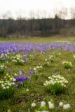 Campos de snowdrops e de flores de florescência dos açafrões Fotos de Stock