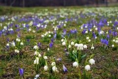 Campos de snowdrops e de flores de florescência dos açafrões Foto de Stock Royalty Free