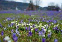 Campos de snowdrops e de flores de florescência dos açafrões Imagens de Stock