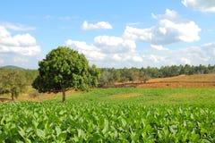 Campos de tabaco foto de stock