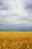 Campos de trigo Fotos de archivo