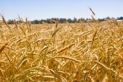 Campos de trigo Fotografia de Stock