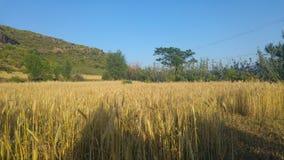 Campos de trigo Imagenes de archivo