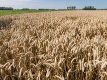 Campos de trigo, agricultura en los Países Bajos Imágenes de archivo libres de regalías