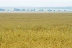 Campos de trigo amarelos Fotografia de Stock