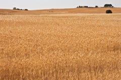 Campos de trigo amarillos Fotografía de archivo