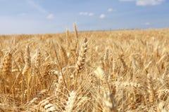 Campos de trigo bajo el sol en el verano fotos de archivo