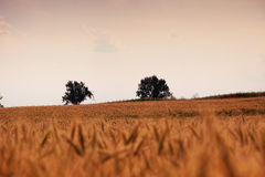 Campos de trigo com as árvores na distância Fotos de Stock