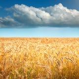 Campos de trigo de oro hacia la nube grande Fotografía de archivo
