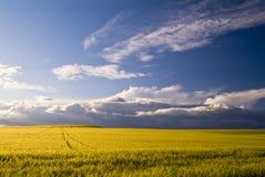 Campos de trigo, debajo del cielo azul Imágenes de archivo libres de regalías