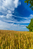 Campos de trigo del oro y cielo azul dramático en julio, Bélgica Fotos de archivo