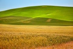 Campos de trigo del verde amarillo Palouse Washington Fotos de archivo