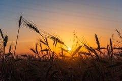 Campos de trigo do cereal no nascer do sol Fotografia de Stock Royalty Free