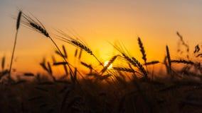 Campos de trigo do cereal no nascer do sol Imagem de Stock Royalty Free