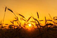 Campos de trigo do cereal no nascer do sol Imagem de Stock