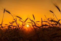 Campos de trigo do cereal no nascer do sol Foto de Stock Royalty Free