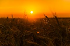 Campos de trigo do cereal no nascer do sol Imagens de Stock
