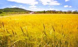 Campos de trigo dourados do console de Ibiza de mediterrâneo imagem de stock