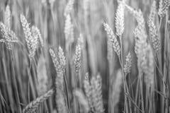 Campos de trigo em preto e branco no fim do verão acima fotografia de stock