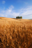 Campos de trigo em Toscânia Imagens de Stock