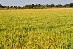Campos de trigo en el gujrat la India Imagenes de archivo