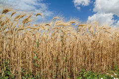 Campos de trigo en el verano Imagen de archivo