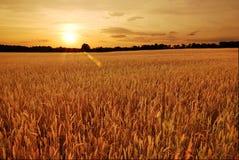 Campos de trigo en la puesta del sol Foto de archivo