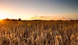 Campos de trigo en la puesta del sol Imágenes de archivo libres de regalías