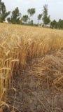 Campos de trigo en pueblo imágenes de archivo libres de regalías