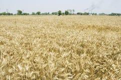Campos de trigo indios Foto de archivo libre de regalías