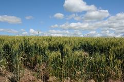 Campos de trigo de invierno Imagen de archivo