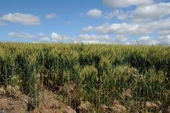 Campos de trigo de invierno Foto de archivo