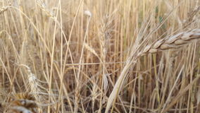 Campos de trigo na vila Imagem de Stock
