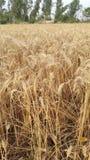 Campos de trigo na vila Fotografia de Stock Royalty Free