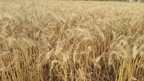 Campos de trigo na vila Imagem de Stock Royalty Free